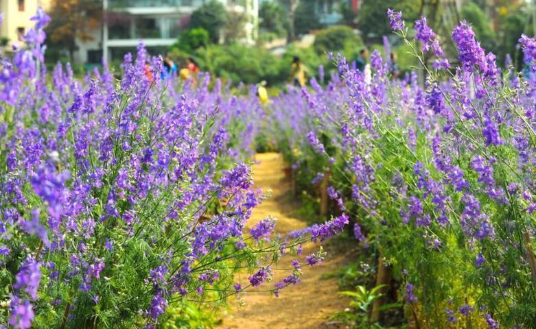 cánh đồng hoa violet 1