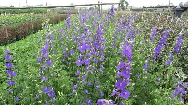 cánh đồng hoa violet 2