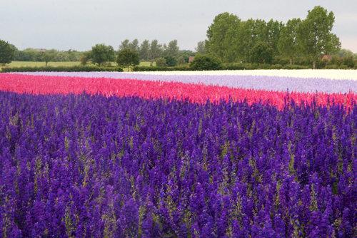 cánh đồng hoa violet 3
