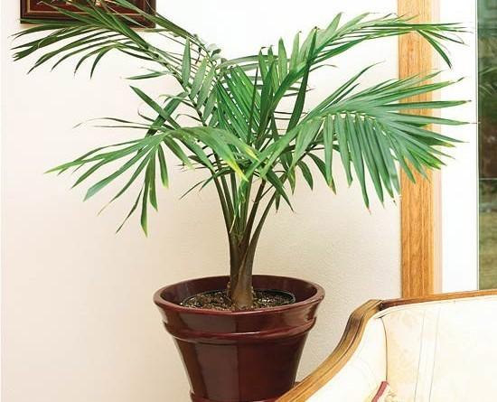 cây cau tiểu trâm đẹp nhất 2