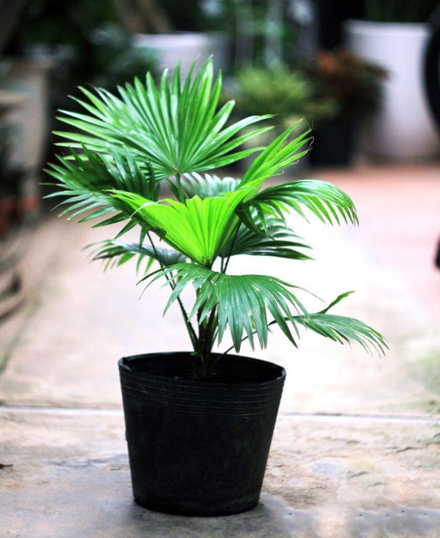 cây cọ trong phong thủy 3