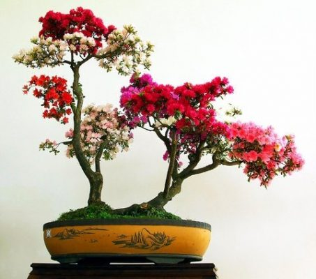 cây hoa giấy bonsai 1