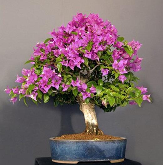 cây hoa giấy bonsai 2