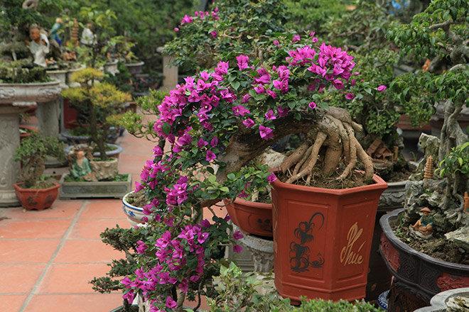 cây hoa giấy bonsai 4