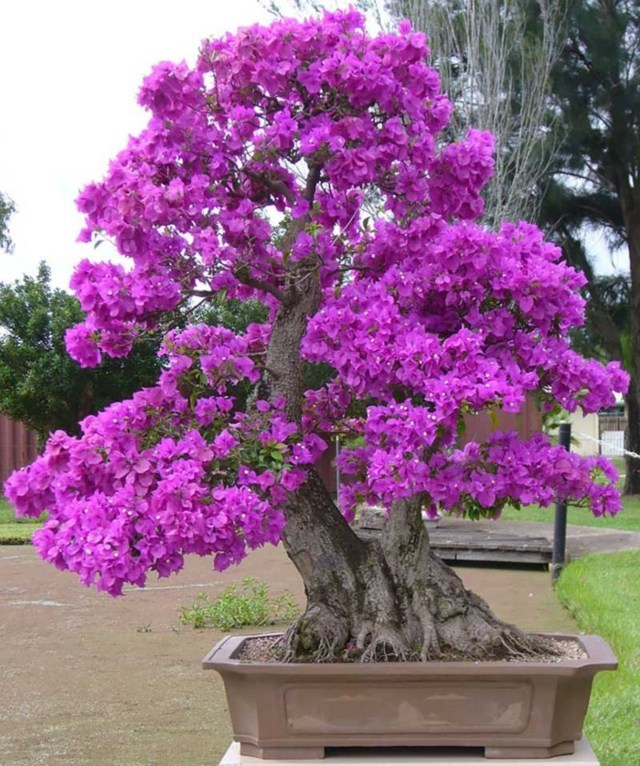 cây hoa giấy bonsai 5