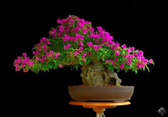 cây hoa giấy bonsai 7