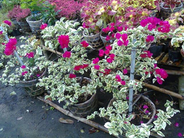 cây hoa giấy cẩm thạch 1