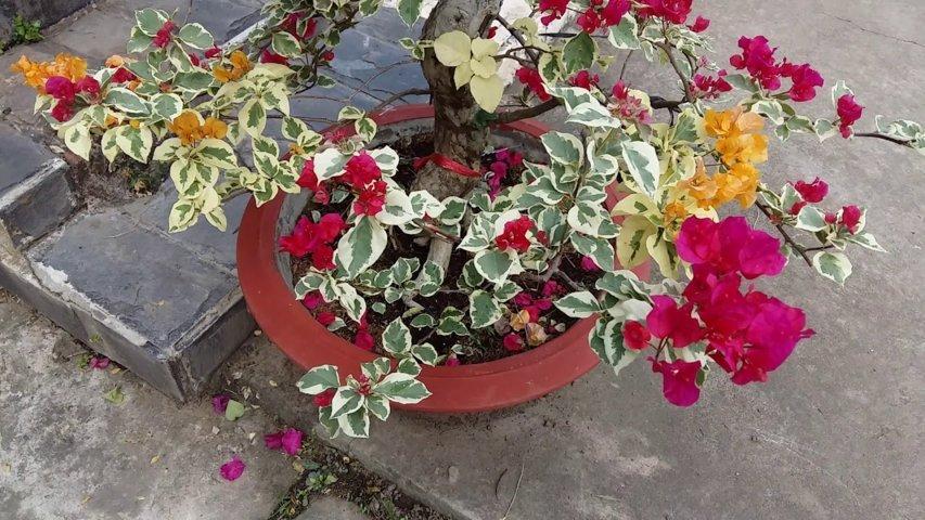 cây hoa giấy cẩm thạch 2