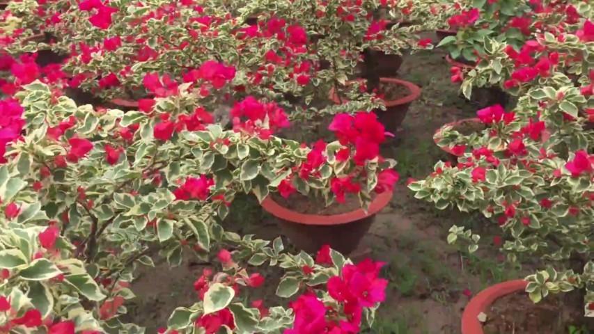 cây hoa giấy cẩm thạch 3
