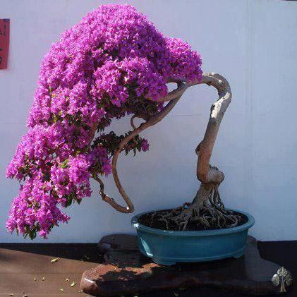 cây hoa giấy hình thác đổ 3
