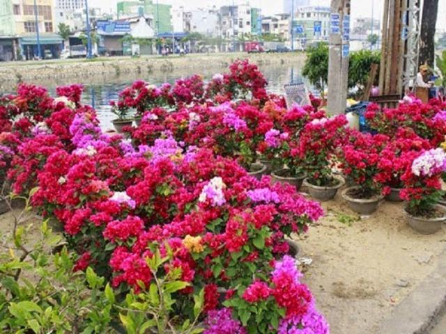 cây hoa giấy nhiều màu 1