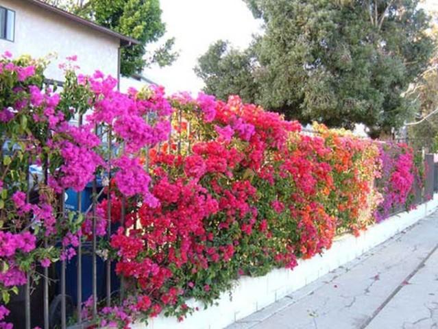 cây hoa giấy nhiều màu 2