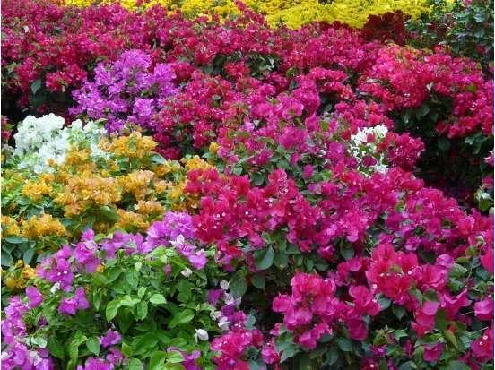 cây hoa giấy nhiều màu 3