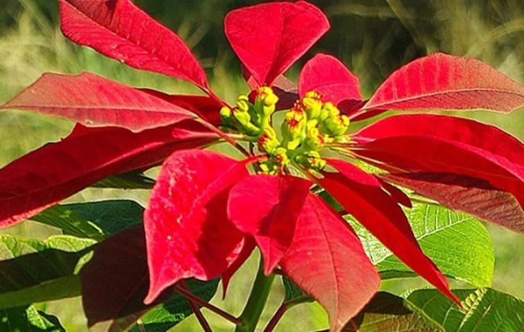 cây hoa trạng nguyên đẹp nhất 1
