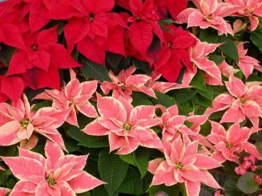 cây hoa trạng nguyên đẹp nhất 3