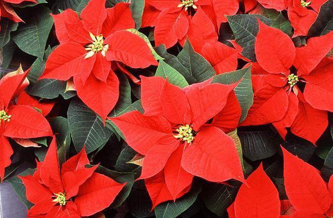 cây hoa trạng nguyên đẹp nhất 4