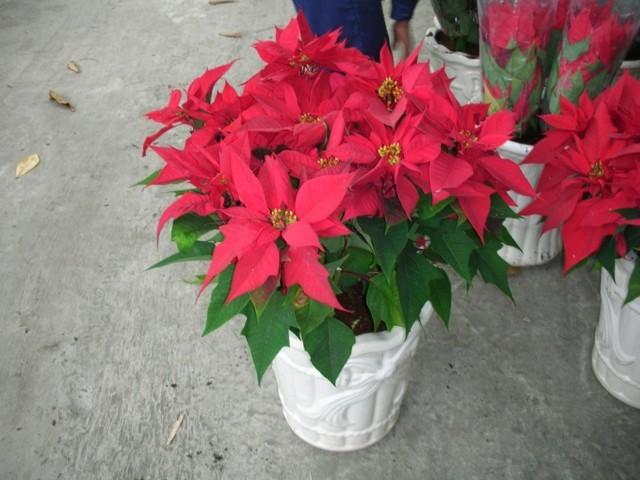 cây hoa trạng nguyên đẹp nhất 7