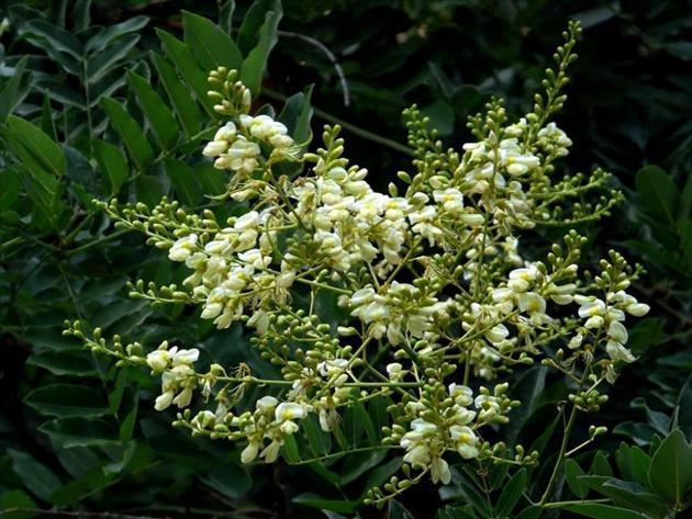 cây hòe phong thủy 2