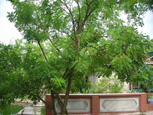 cây hòe phong thủy 3