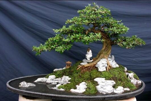 cây linh sam đẹp 1