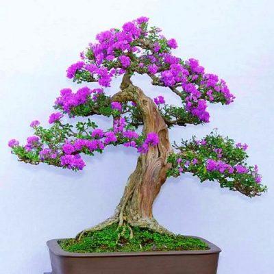 cây linh sam đẹp 2