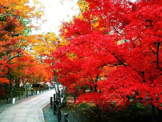 cây phong lá đỏ đẹp nhất 1