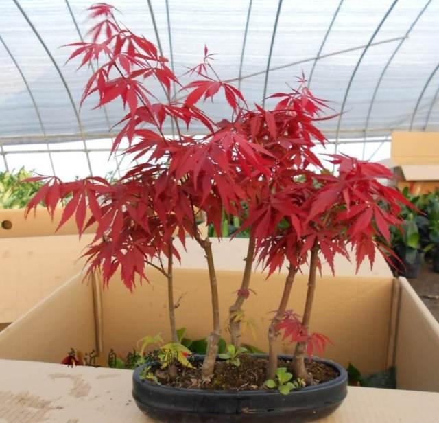 cây phong lá đỏ đẹp nhất 2