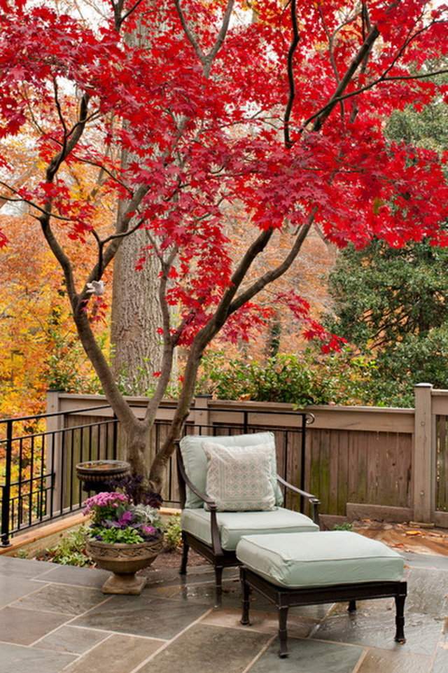 cây phong lá đỏ đẹp nhất 3