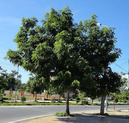 cây sao đen 1