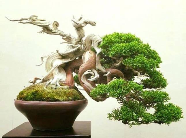 cây tùng bồng lai đẹp nhất 1
