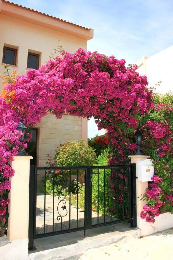 cổng cây hoa giấy 2
