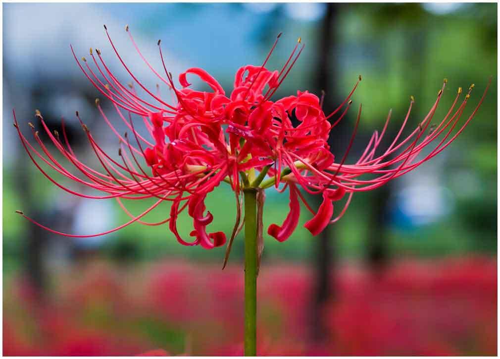 hình ảnh hoa bỉ ngạn 1