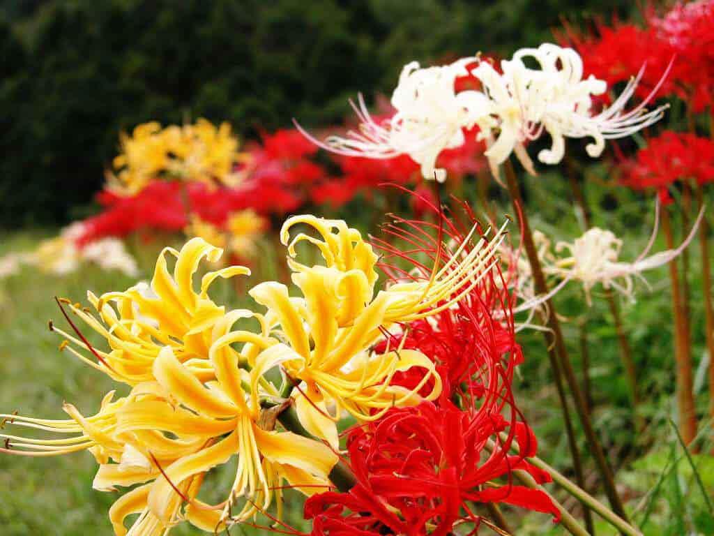 hình ảnh hoa bỉ ngạn 2