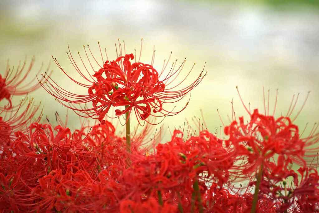 hình ảnh hoa bỉ ngạn 4
