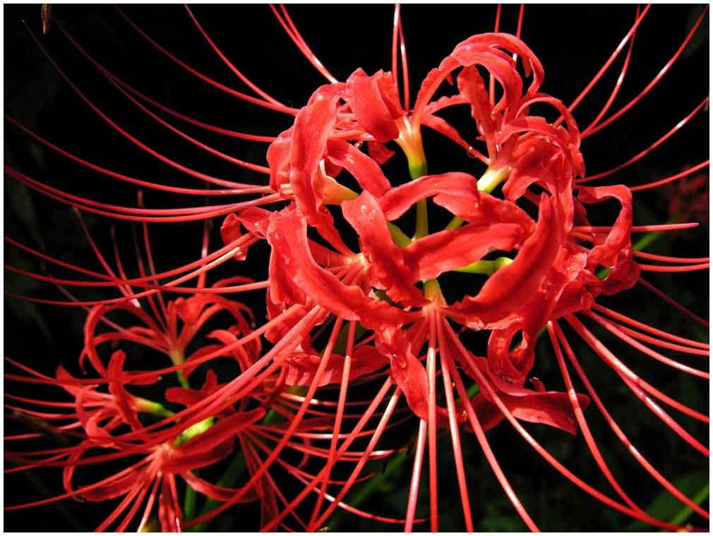 hình ảnh hoa bỉ ngạn 6