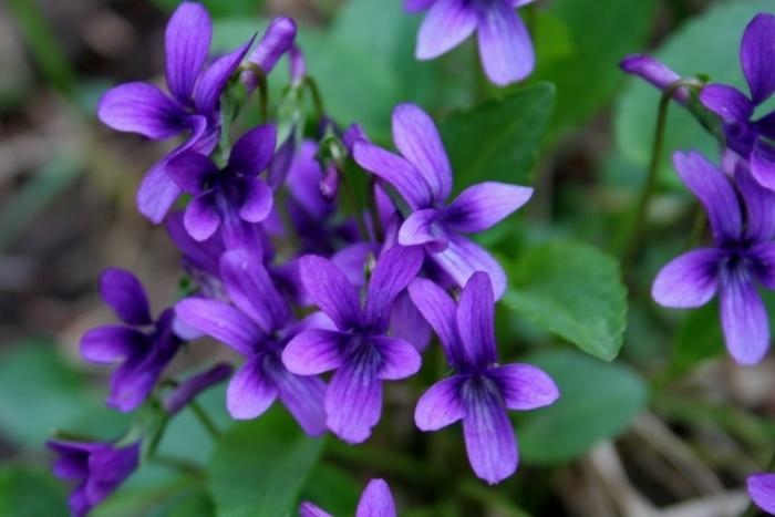 hình ảnh hoa violet 1