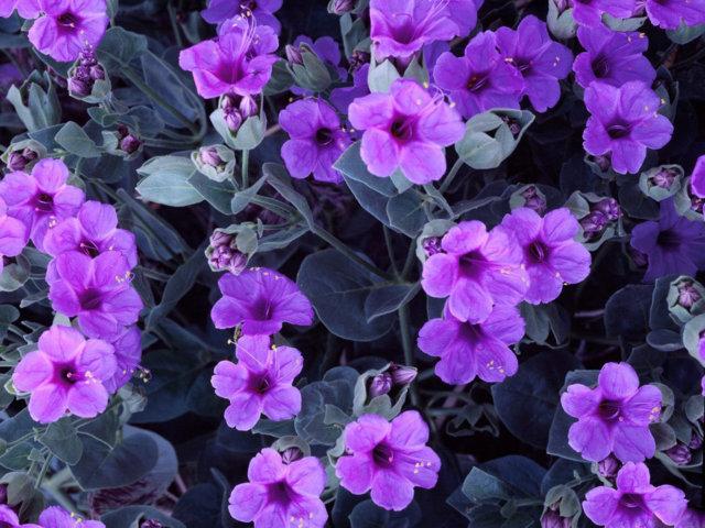 hình ảnh hoa violet 3