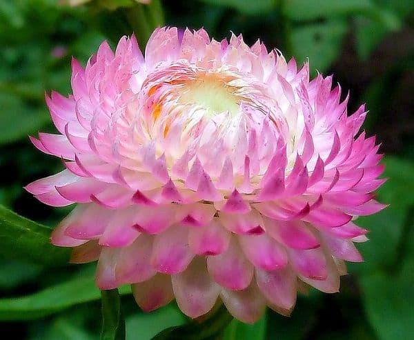 hoa bất tử đẹp nhất 1