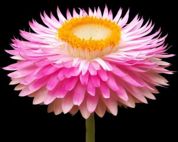 hoa bất tử đẹp nhất 2