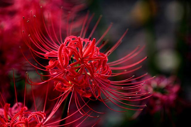hoa bỉ ngạn đẹp nhất 1
