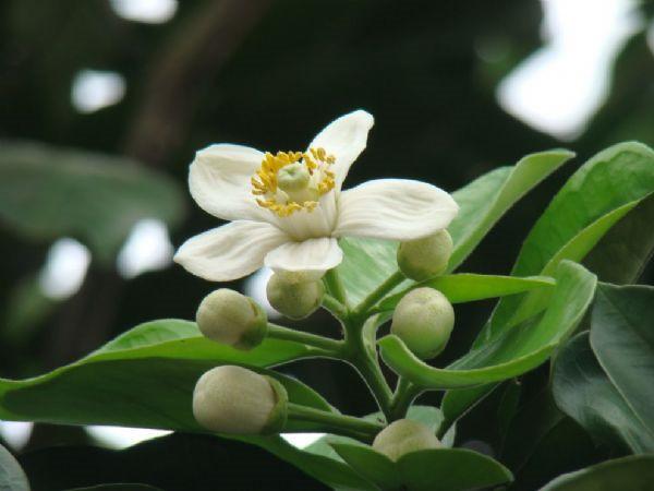 hoa bưởi đẹp nhất 1