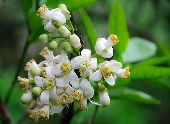 hoa bưởi đẹp nhất 2
