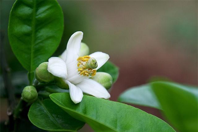 hoa bưởi đẹp nhất 3