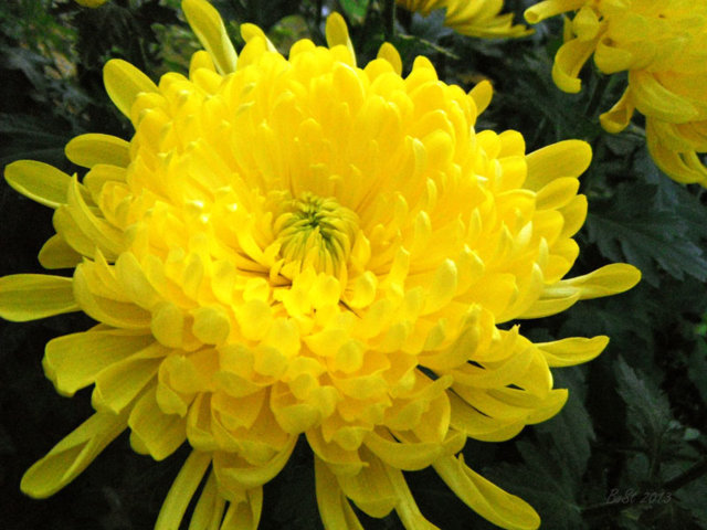 hoa cúc đại đóa đẹp 1
