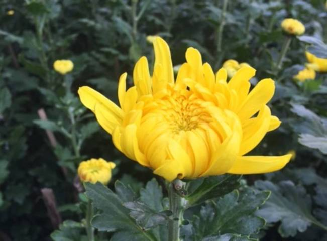 hoa cúc đại đóa đẹp 2