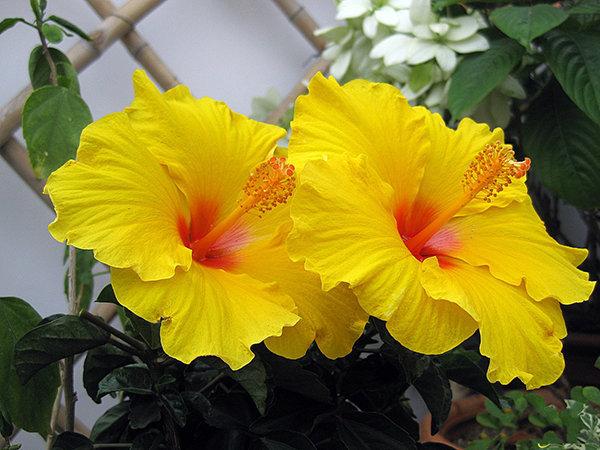 hoa dâm bụt đẹp nhất 1