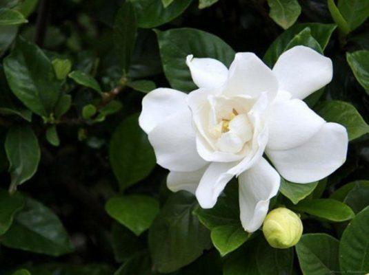 hoa dành dành đẹp nhất 1