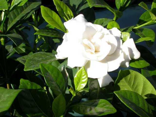 hoa dành dành đẹp nhất 2