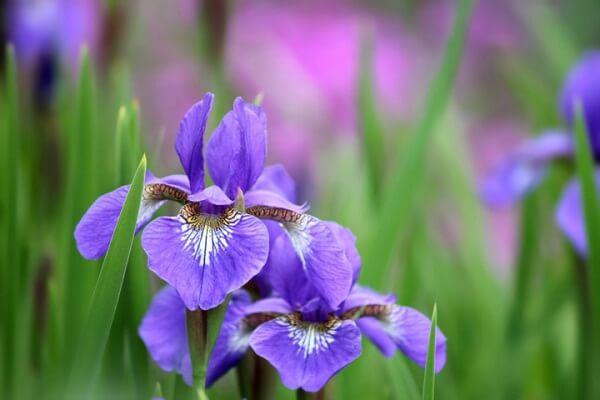 hoa diên vĩ đẹp nhất 1