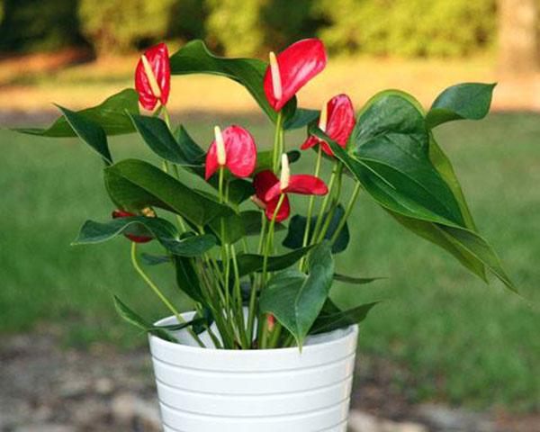 hoa hồng môn đẹp nhất 2
